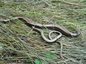 Slow worms found during a reptile survey in Elmbridge, Surrey