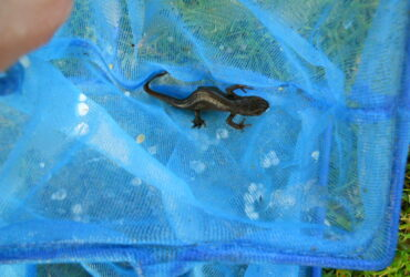 Great Crested Newt eDNA Survey