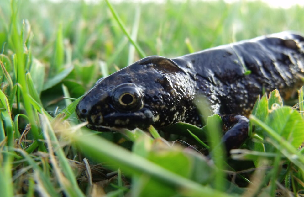 A Great Crested Newt