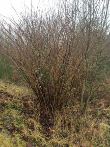 Winter stand of Japanese knotweed