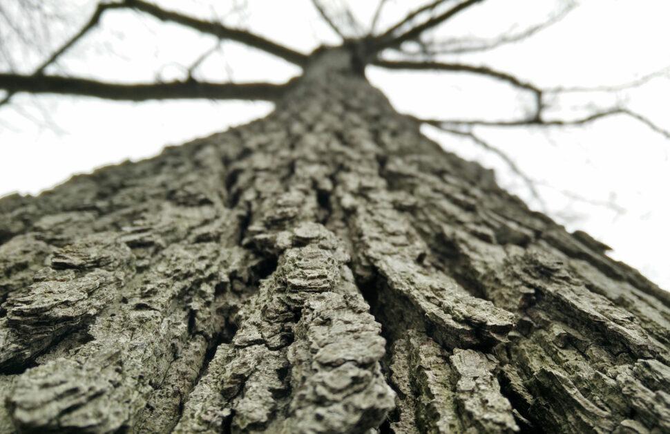 Tree Work on and Oak Tree